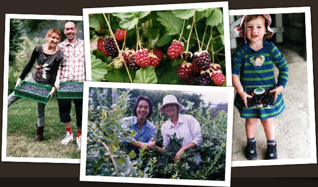 Picking your own berries at Clyde River Berry Farm